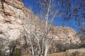 Arizona Sycamore, used for floor and roof supports, many of which are still intact after 700 years. See picture below.